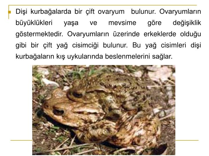 Dişi kurbağalarda bir çift ovaryum  bulunur. Ovaryumların büyüklükleri yaşa ve mevsime göre değişiklik göstermektedir. Ovaryumların üzerinde erkeklerde olduğu gibi bir çift yağ cisimciği bulunur. Bu yağ cisimleri dişi kurbağaların kış uykularında beslenmelerini sağlar.