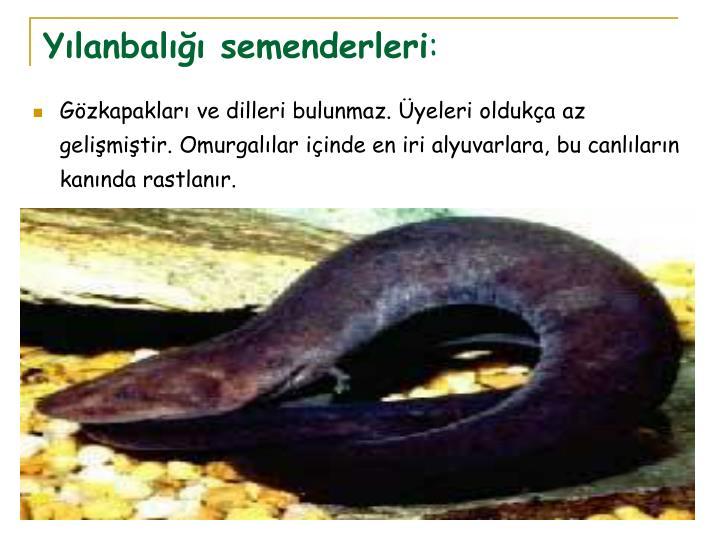 Yılanbalığı semenderleri