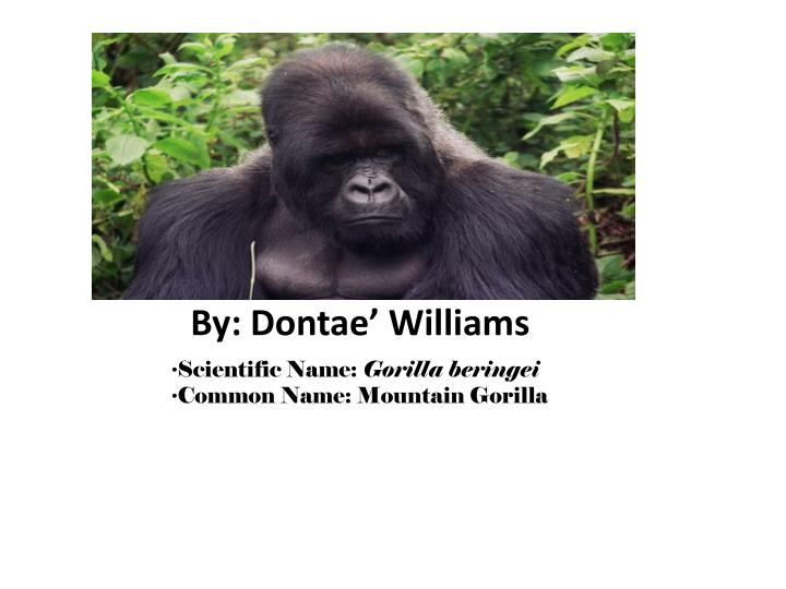 Scientific name gorilla beringei common name mountain gorilla
