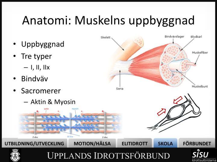 Anatomi: Muskelns uppbyggnad
