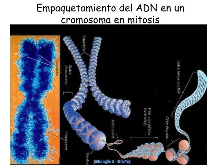 Empaquetamiento del ADN en un cromosoma en mitosis