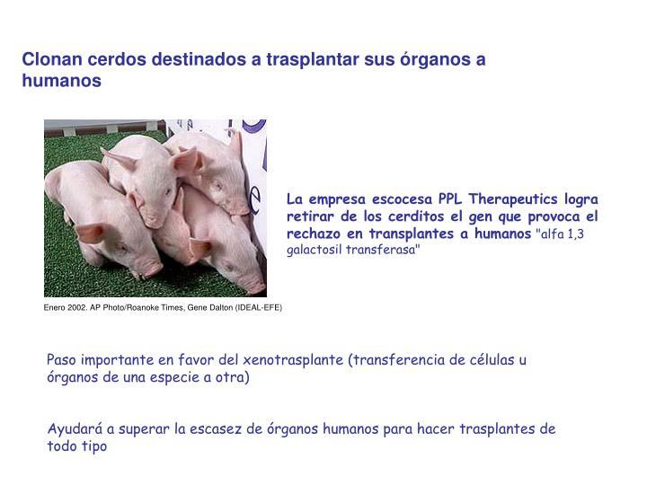 Clonan cerdos destinados a trasplantar sus órganos a humanos