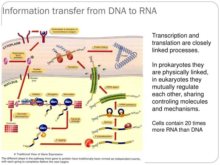Information transfer from dna to rna
