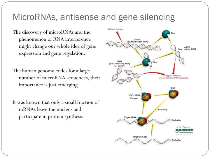 MicroRNAs, antisense and gene silencing