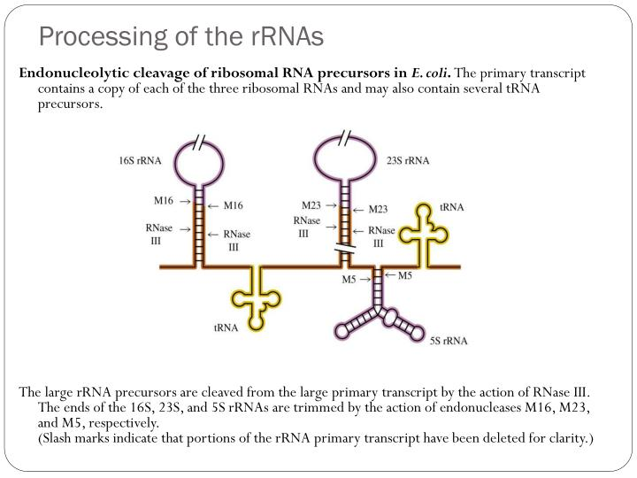 Processing of the rRNAs