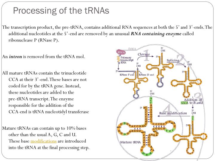 Processing of the tRNAs