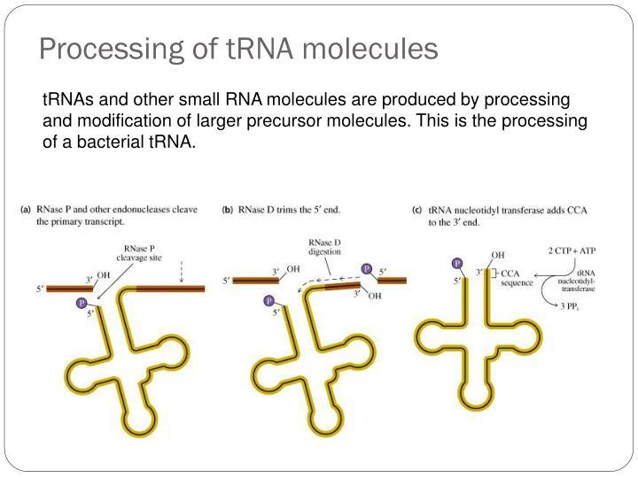 Processing of tRNA molecules