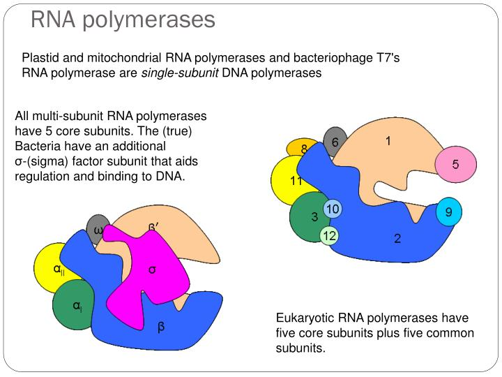 RNA polymerases