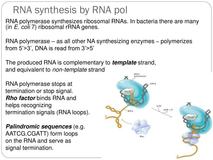 RNA synthesis by RNA pol