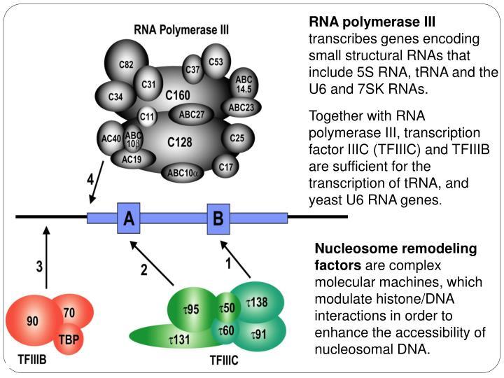 RNA polymerase III