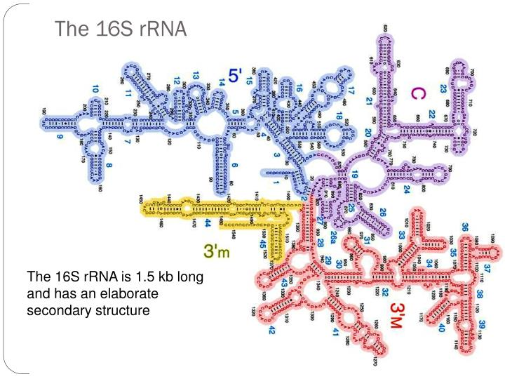 The 16S rRNA
