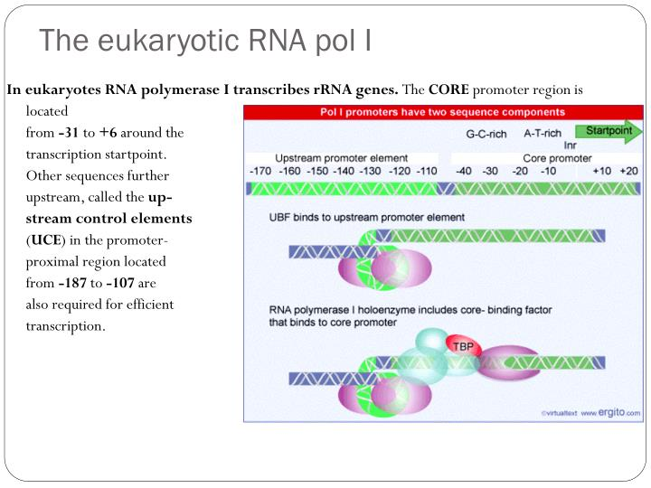 The eukaryotic RNA pol I