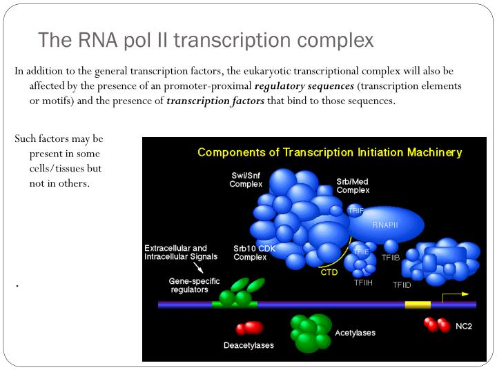 The RNA pol II transcription complex