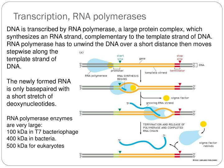 Transcription, RNA polymerases
