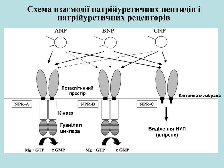 Схема взаємодії натрійуретичних пептидів і натрійуретичних рецепторів