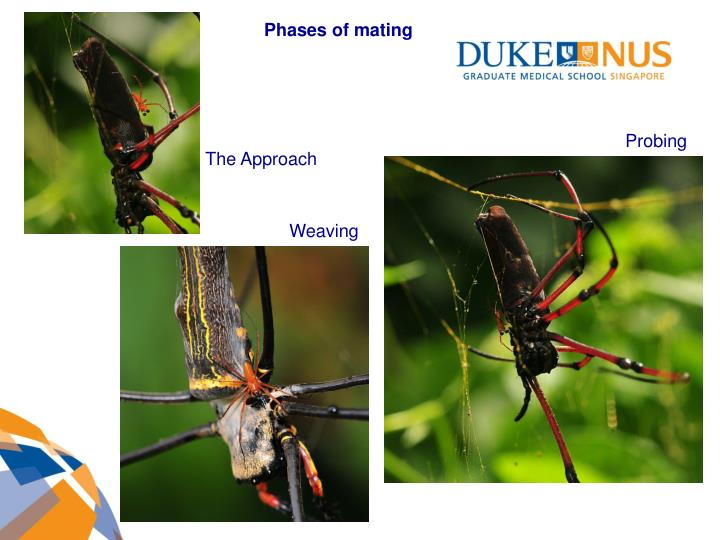 Phases of mating