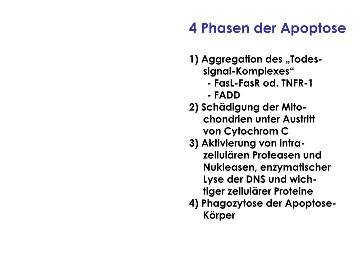 4 Phasen der Apoptose