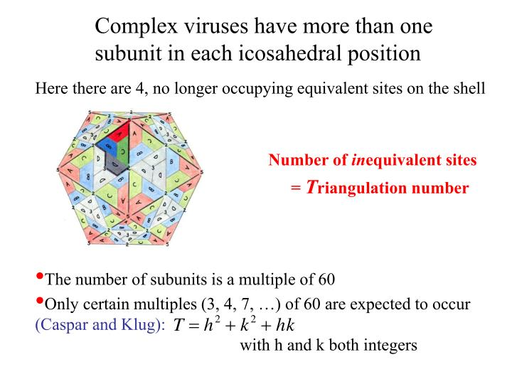 Complex viruses have more than one subunit in each icosahedral position