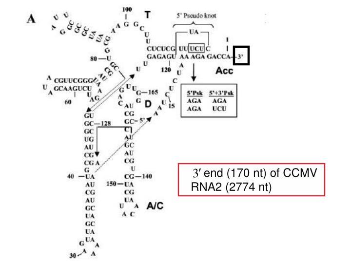 end (170 nt) of CCMV RNA2 (2774 nt)