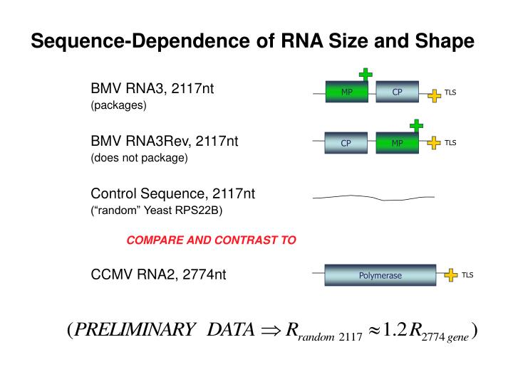 Sequence-Dependence of RNA Size and Shape