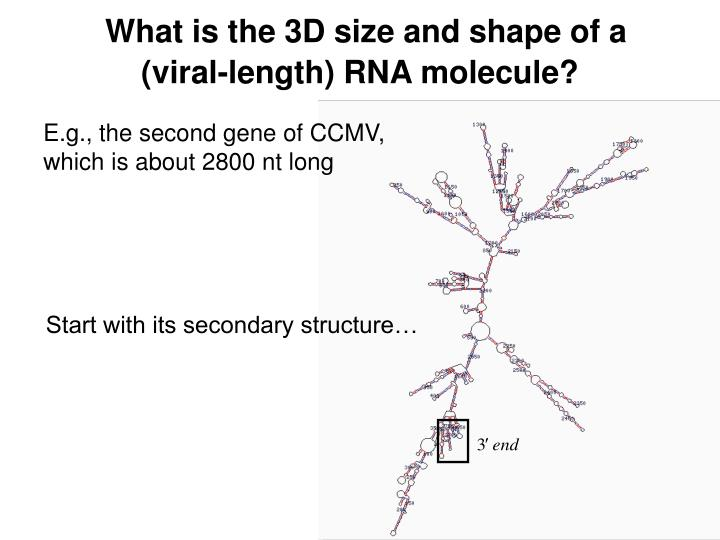What is the 3D size and shape of a (viral-length) RNA molecule?