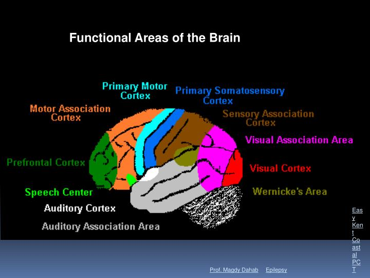Cerebral cortex regions