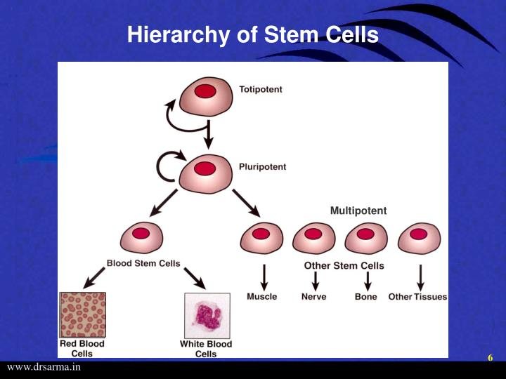 Hierarchy of Stem Cells