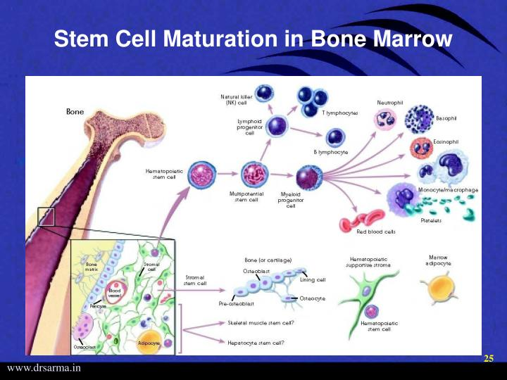 Stem Cell Maturation in Bone Marrow
