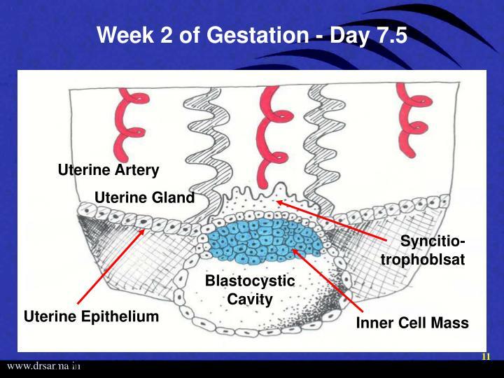 Week 2 of Gestation - Day 7.5