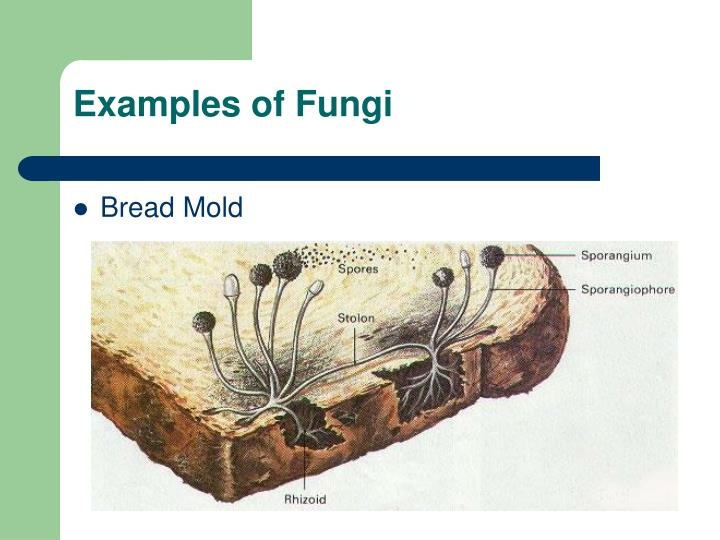 Examples of Fungi