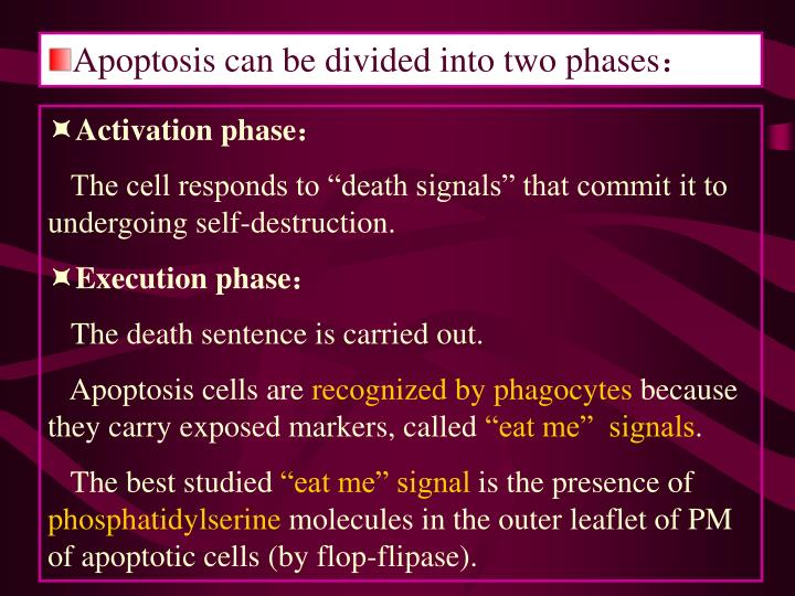 Apoptosis can be divided into two phases: