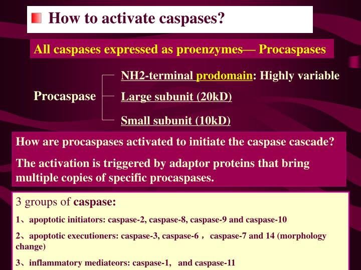 All caspases expressed as proenzymes— Procaspases