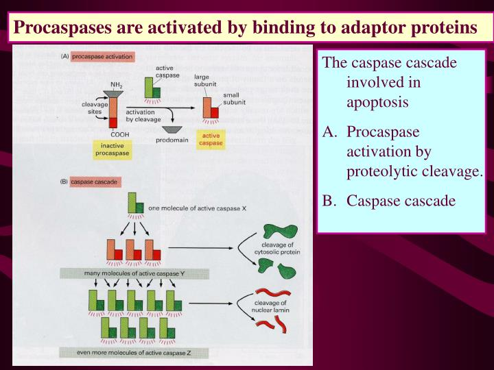 Procaspases are activated by binding to adaptor proteins