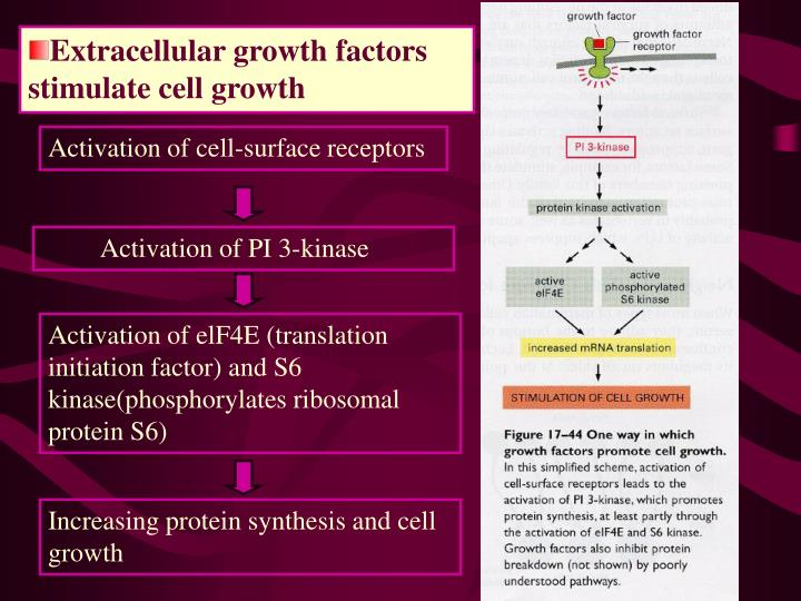 Extracellular growth factors stimulate cell growth