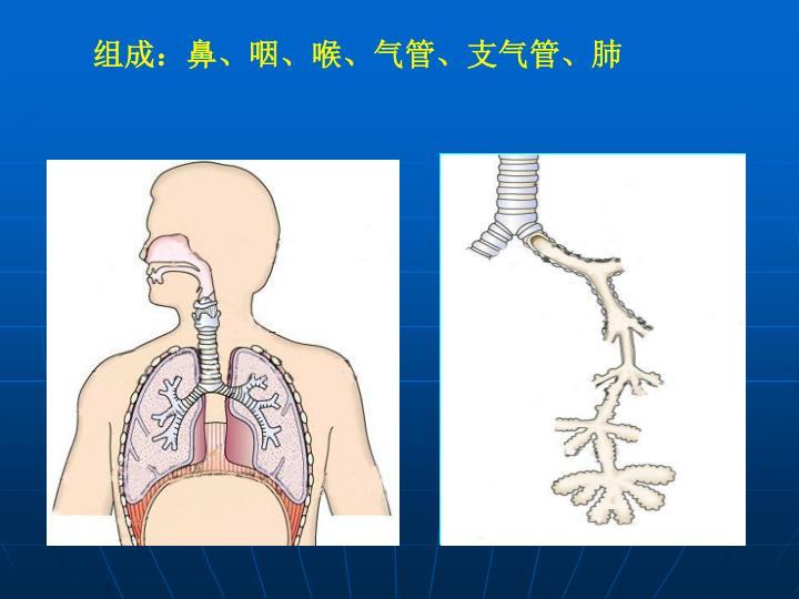 组成:鼻、咽、喉、气管、支气管、肺