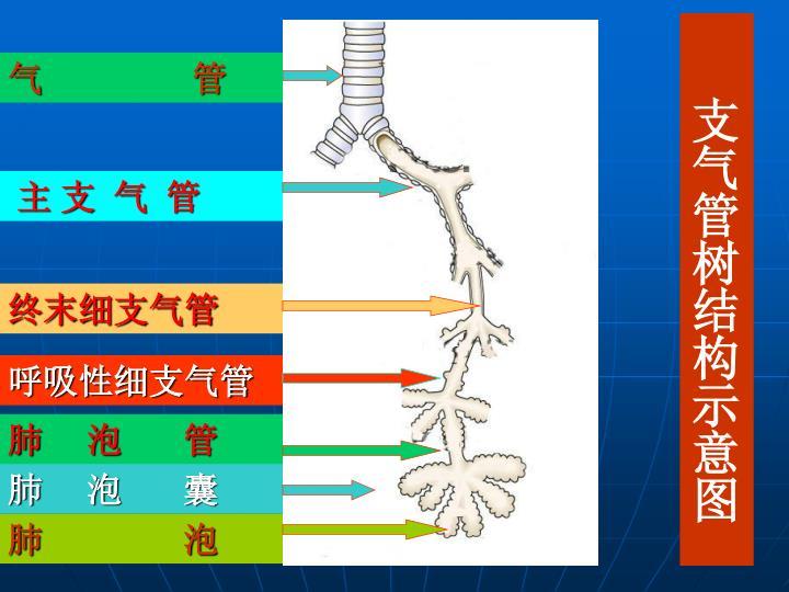 支气管树结构示意图