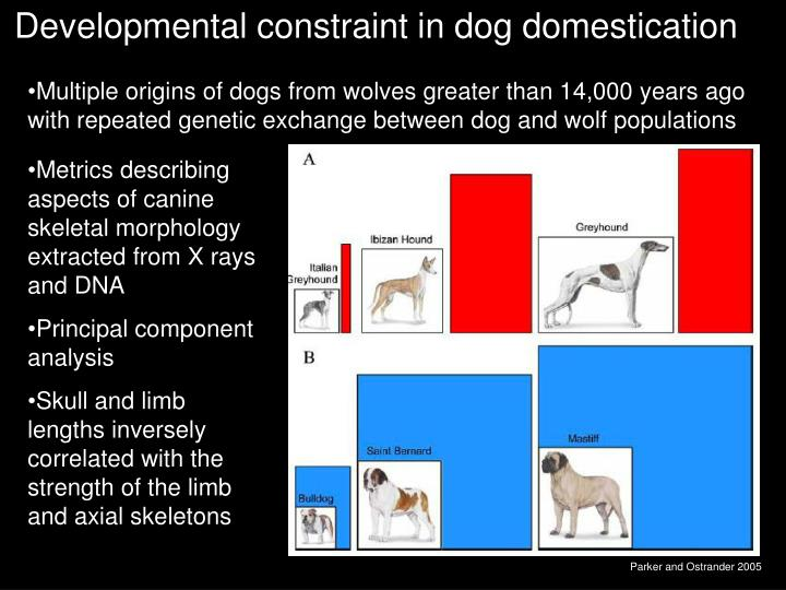 Developmental constraint in dog domestication