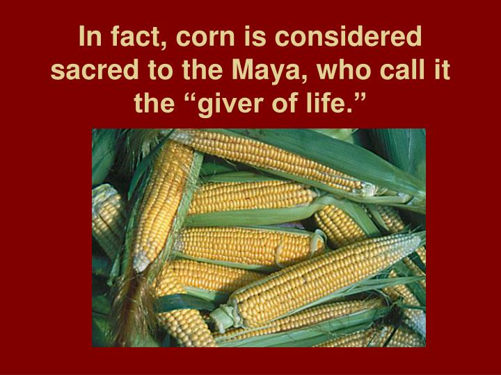"In fact, corn is considered sacred to the Maya, who call it the ""giver of life."""