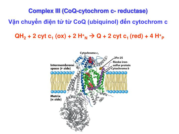 Complex III (CoQ-cytochrom c- reductase)