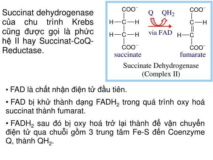 Succinat dehydrogenase của chu trình Krebs cũng được gọi là phức hệ II hay Succinat-CoQ-Reductase.