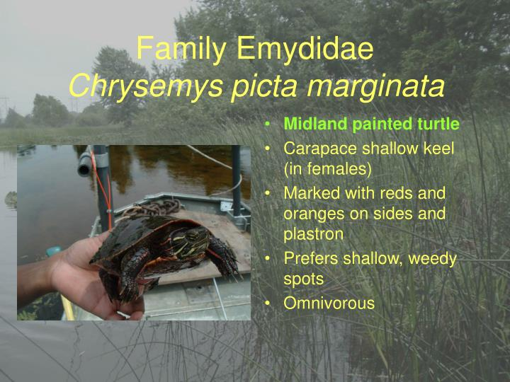 Family Emydidae