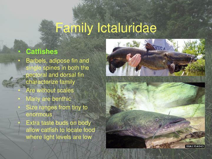 Family Ictaluridae