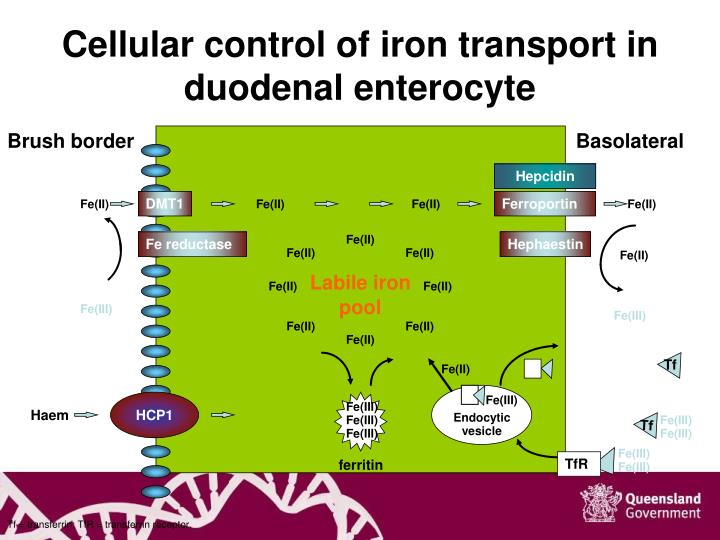 Cellular control of iron transport in duodenal enterocyte