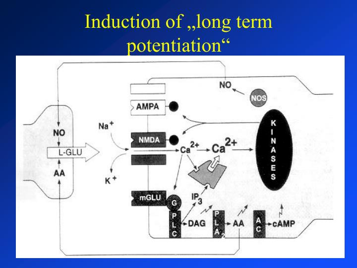 "Induction of ""long term potentiation"""