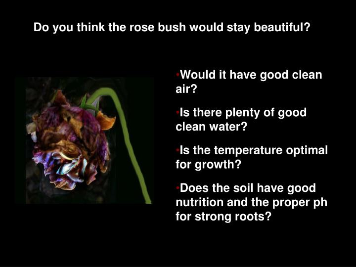 Do you think the rose bush would stay beautiful?
