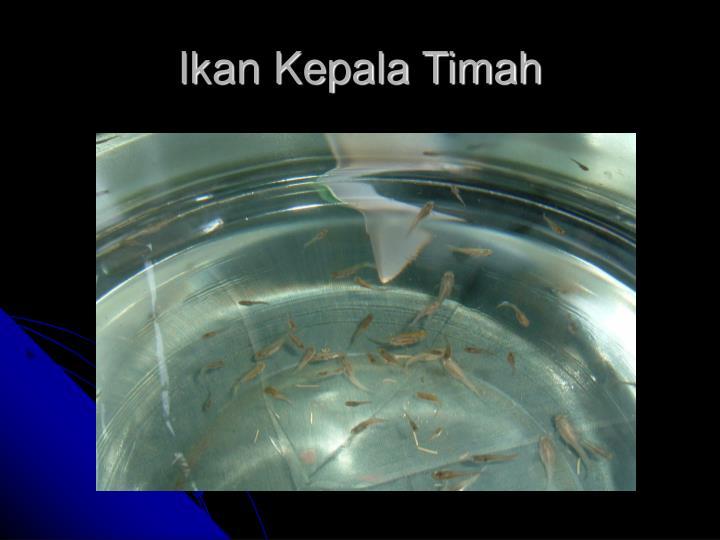 Ikan Kepala Timah