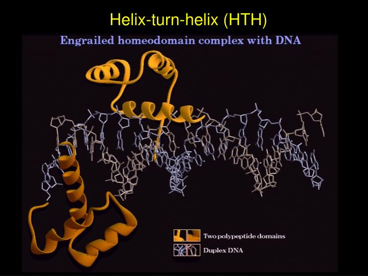 Helix-turn-helix (HTH)