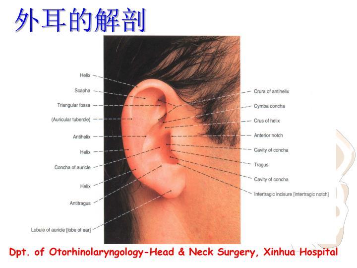 外耳的解剖