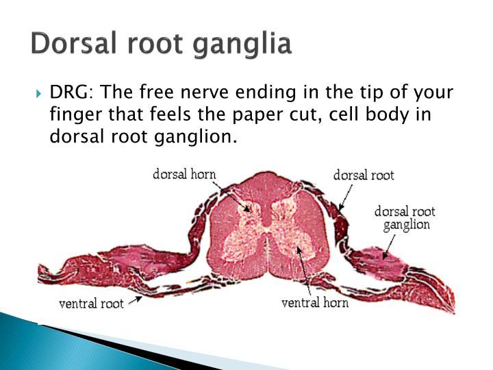Dorsal root ganglia