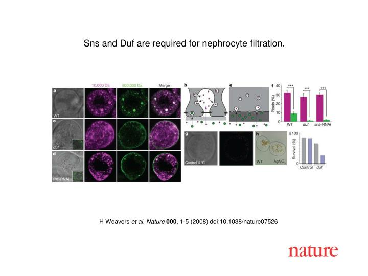 Sns and Duf are required for nephrocyte filtration.